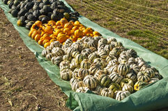 Squash in different kinds Royalty Free Stock Photos