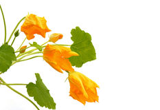 Squash flower and leaves isolated on white Royalty Free Stock Photo