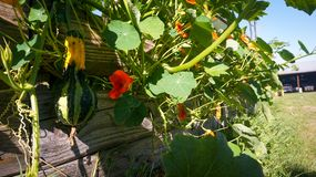 Squash and flowers growing over garden fence royalty free stock photography
