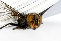 Squash fly under magazine in extreme close up Stock Image