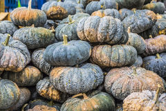 Squash fruits, Cucurbita sp., Family Cucurbitaceae, Central of T Stock Image