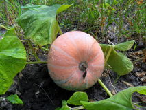 Squash in the garden Royalty Free Stock Image