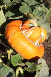 Squash. Growing in an organic garden Royalty Free Stock Photo