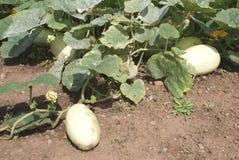 Squash growing in a vegetable garden Royalty Free Stock Photos