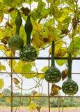 Squash growing on vine Stock Photo