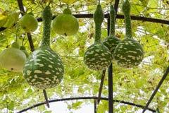 Squash growing on vine Royalty Free Stock Image