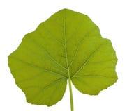 Squash leaf Royalty Free Stock Image
