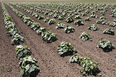 Squash plants in a farm field. Squash plants growing in a farm field in rows receding into the horizon royalty free stock photos