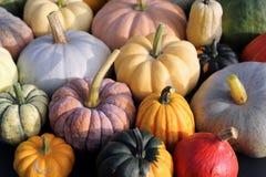 Squash and pumpkins. Royalty Free Stock Image