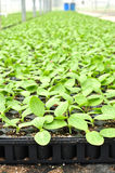 Squash seedlings Royalty Free Stock Photos