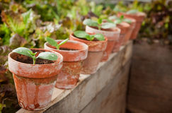 Squash seedlings. In weathered terra cotta pots - shallow DOF, first seedling on left is the focus point Royalty Free Stock Photography