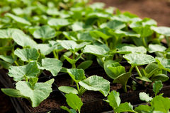 Squash seedlings Stock Photos