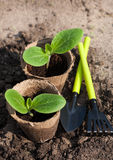 Squash seedlings on the ground Royalty Free Stock Images