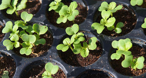 Squash seedlings Royalty Free Stock Images