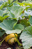 Squash Turks Cap or Turban Stock Image