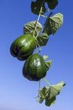 Squash vegetable Stock Photography