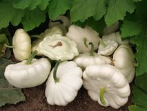 Squashes harvest Stock Photos