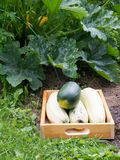 Squashes in the wooden box Stock Photo