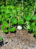Squashväxt med squash Arkivbild