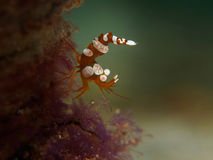 Free Squat Shrimp Royalty Free Stock Photography - 83334267