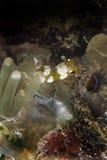 Squat Shrimp, Mabul Island, Sabah Stock Photos