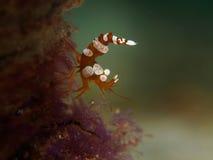 Squat Shrimp Royalty Free Stock Photography