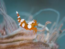 Squat shrimp at underwater stock image