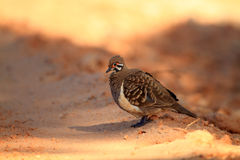 Squatter Pigeon Stock Image