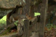 Squatting Squirrel Stock Images