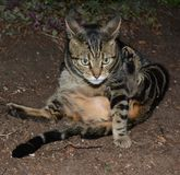 SQUATTING TABBY CAT. A stripped cat stretching to clean his tail Royalty Free Stock Photos