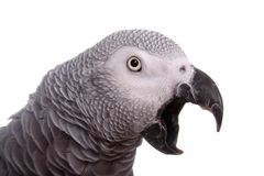 SQUAWK!!!. Squawking African Grey bird isolated against a white backdrop Royalty Free Stock Photos