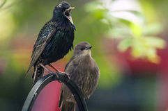 Squawker. A starling is complaining with a younger starling on the feeder Stock Photo