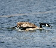 Squawking гусыня Канады разбивая на южном пруде стоковая фотография rf