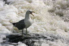 Squawking чайка в завихряясь воде стоковая фотография rf