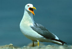Squawking California Gull Royalty Free Stock Images