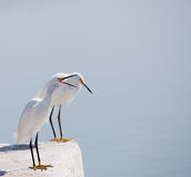 Squawking Egret Stock Image