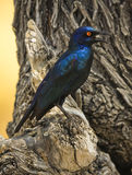 Squawking glossy starling Royalty Free Stock Images