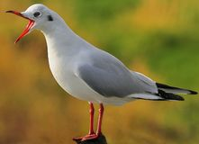 Squawking gull (Chroicocephalus ridibundus) Royalty Free Stock Images