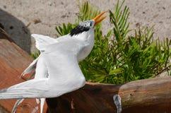 Squawking Royal Tern Bird on a Fallen Log Royalty Free Stock Photo