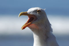 Squawking sea gull stock image