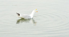 Squawking seagull with circular ripples. Royalty Free Stock Photography