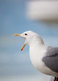 Squawking seagull. Seagull perched and squaking on a cruise ship railing Stock Photo