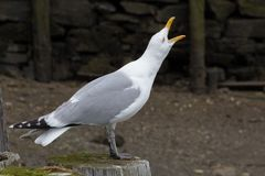 Squawking Seagull at the Seashore royalty free stock photography