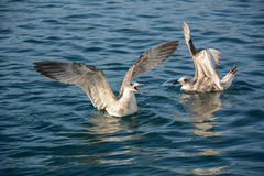 Squawking seagulls. Seagulls squawking in the sea Stock Images