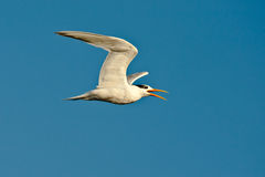 Squawking Tern Royalty Free Stock Images