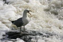 Squawkingszeemeeuw in wervelend water royalty-vrije stock fotografie