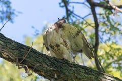 Squawks Rosso-muniti del falco alle cyanocitte cristate vicine che le lasciano conoscere chi è capo fotografia stock