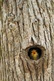 Squeaker. Common Blackbird nestlings, the beech tree hole Stock Photography