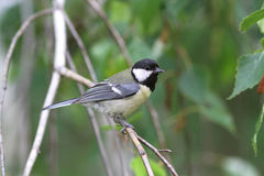 Squeaker great tit aka parus major learn to fly springtime Stock Image