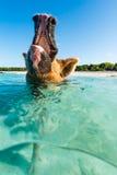 Squealing κολυμπώντας χοίρος Στοκ εικόνες με δικαίωμα ελεύθερης χρήσης